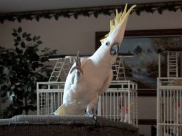 Snowball cockatoo dancing parrot